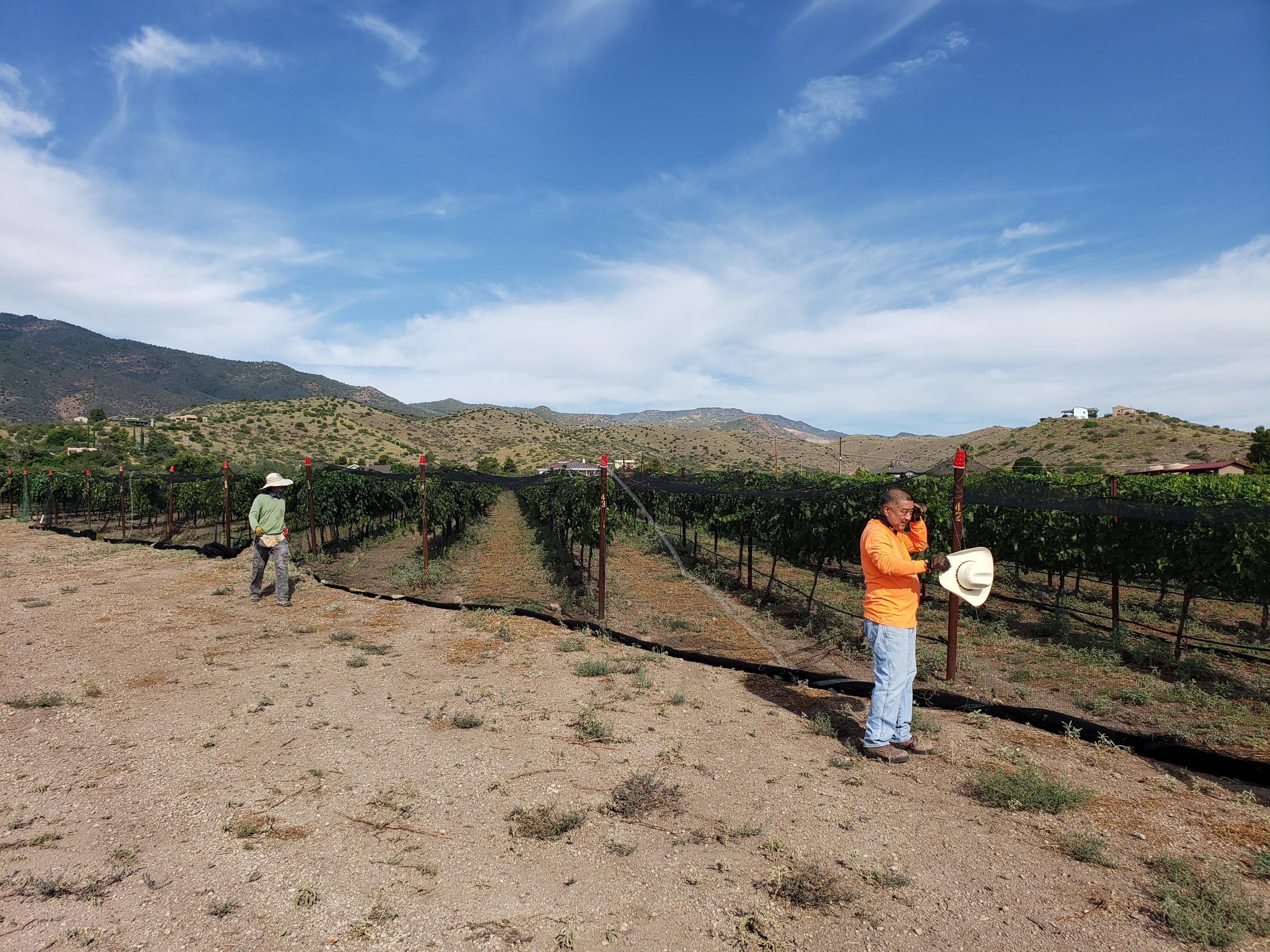 Vineyard covered with bird netting
