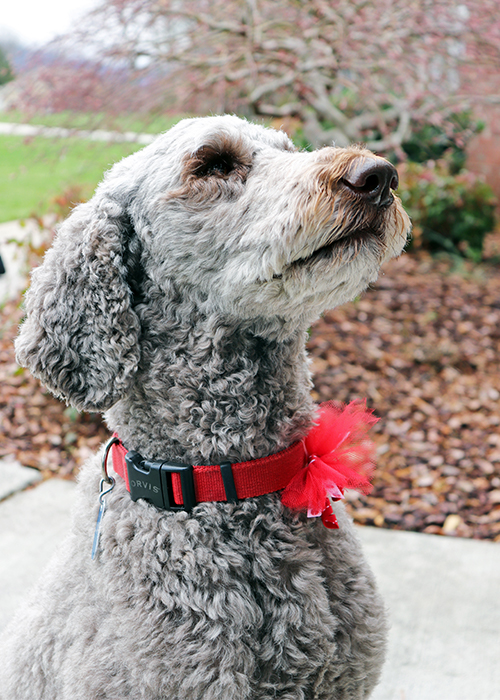 Standard Poodle editorial photography Lynchburg