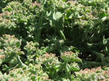 hierba-helada-eco