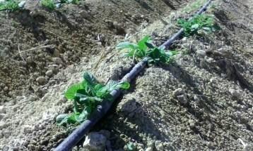patatas ecologicos