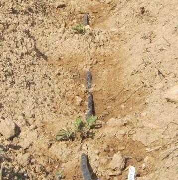 sandia-ecologica-2233