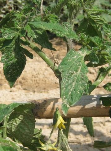 tomates-ecologicos-22