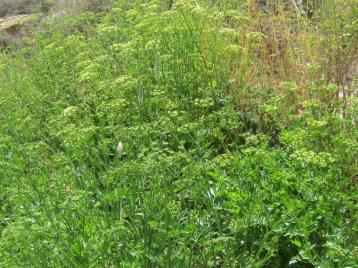 perejil-ecologico-111