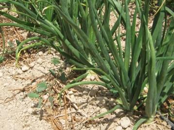 cebolla-valenciana-eco