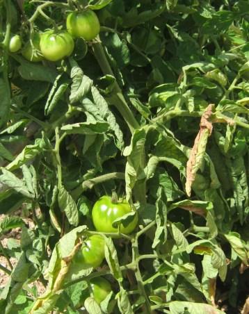 tomate-pera-ecologica