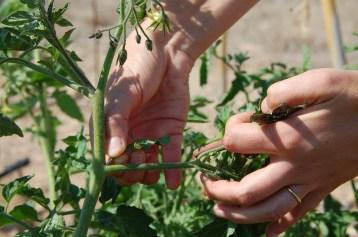 desroñando tomateras 2