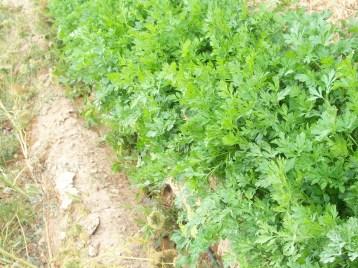 perejil-de-raiz-zanahoria