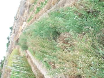 plantas-silvestres-ff