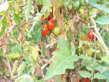 tomate-bombilla-roja2