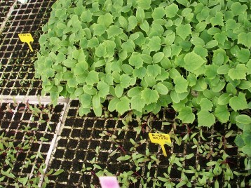 plantones-pepino-remolacha