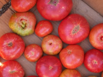 tomate-povedilla-3