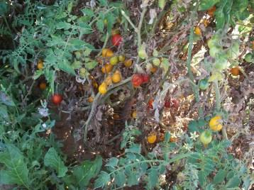 tomate-bombilla-amarilla-100_3408