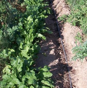 verduras-ecologicas-de-otono-100_3459