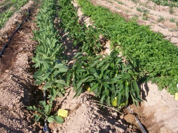 verduras-ecologicas-de-otono-100_3466