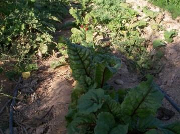 verduras-ecologicas-de-otono-100_3483