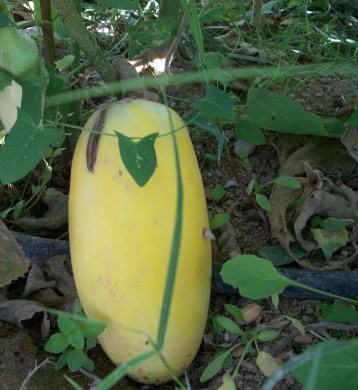 verduras-ecologicas-de-otono-bacarot-granja-masphael-100_3639