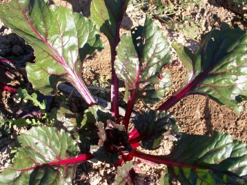 verduras-ecologicas-de-otono-bacarot-granja-masphael-100_3666
