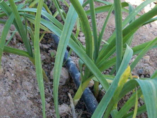 verduras-ecologicas-de-otono-bacarot-granja-masphael-100_3673