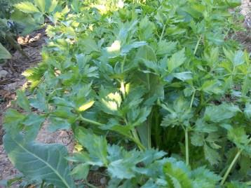 verduras-ecologicas-de-otono-bacarot-granja-masphael-100_3709