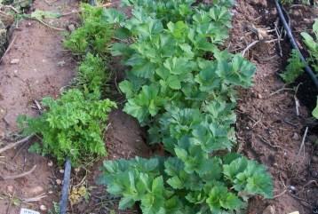 verduras-ecologicas-de-otono-bacarot-alicante-100_3766-2