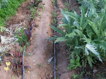 verduras-ecologicas-de-otono-bacarot-alicante-100_3777