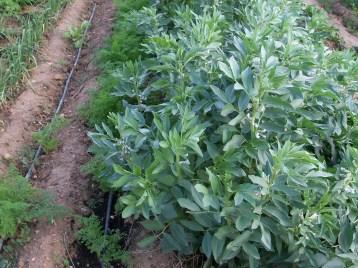 verduras-ecologicas-de-otono-bacarot-alicante-100_3781