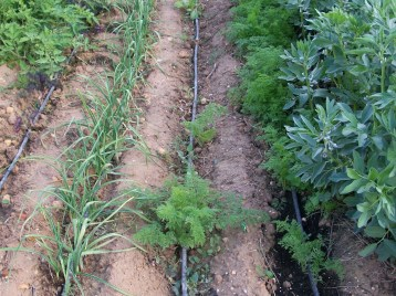 verduras-ecologicas-de-otono-bacarot-alicante-100_3782