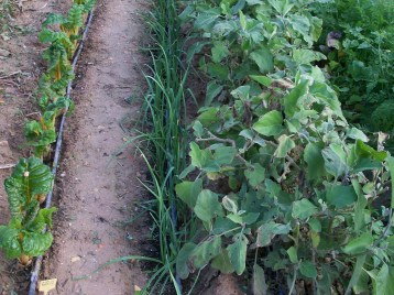 verduras-ecologicas-de-otono-bacarot-alicante-100_3785