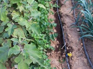 verduras-ecologicas-de-otono-bacarot-alicante-100_3790