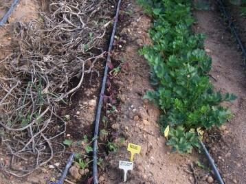 verduras-ecologicas-de-otono-bacarot-alicante-100_3792-2