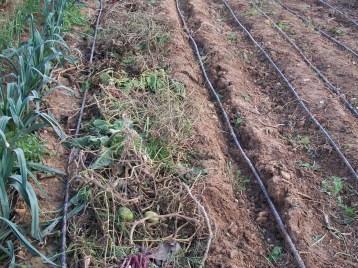 verduras-ecologicas-de-otono-bacarot-alicante-100_3806-2