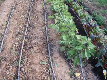verduras-ecologicas-de-otono-bacarot-alicante-100_3812-2