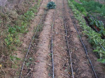verduras-ecologicas-de-otono-bacarot-alicante-100_3813-2