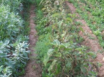 verduras-ecologicas-de-otono-bacarot-alicante-100_3817-2
