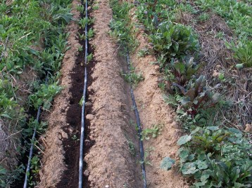 verduras-ecologicas-de-otono-bacarot-alicante-100_3819-2