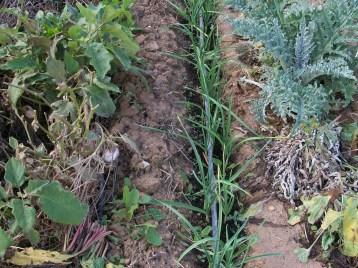 verduras-ecologicas-de-otono-bacarot-alicante-100_3820