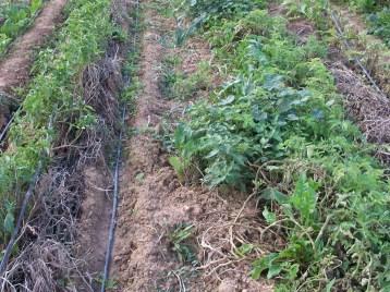 verduras-ecologicas-de-otono-bacarot-alicante-100_3823-2