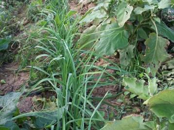 verduras-ecologicas-de-otono-bacarot-alicante-100_3828