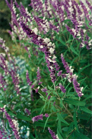 Salvia-leucanta-web