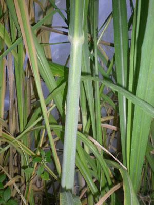 Caña-de-azucar-web