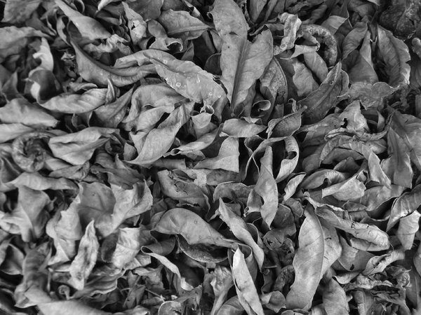 Old dry leaves