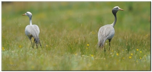 Blue Cranes (Photograph by Mark Drysdale)