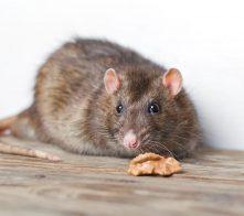 Rat Control Carmarthen