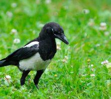 Magpie in garden on green background.