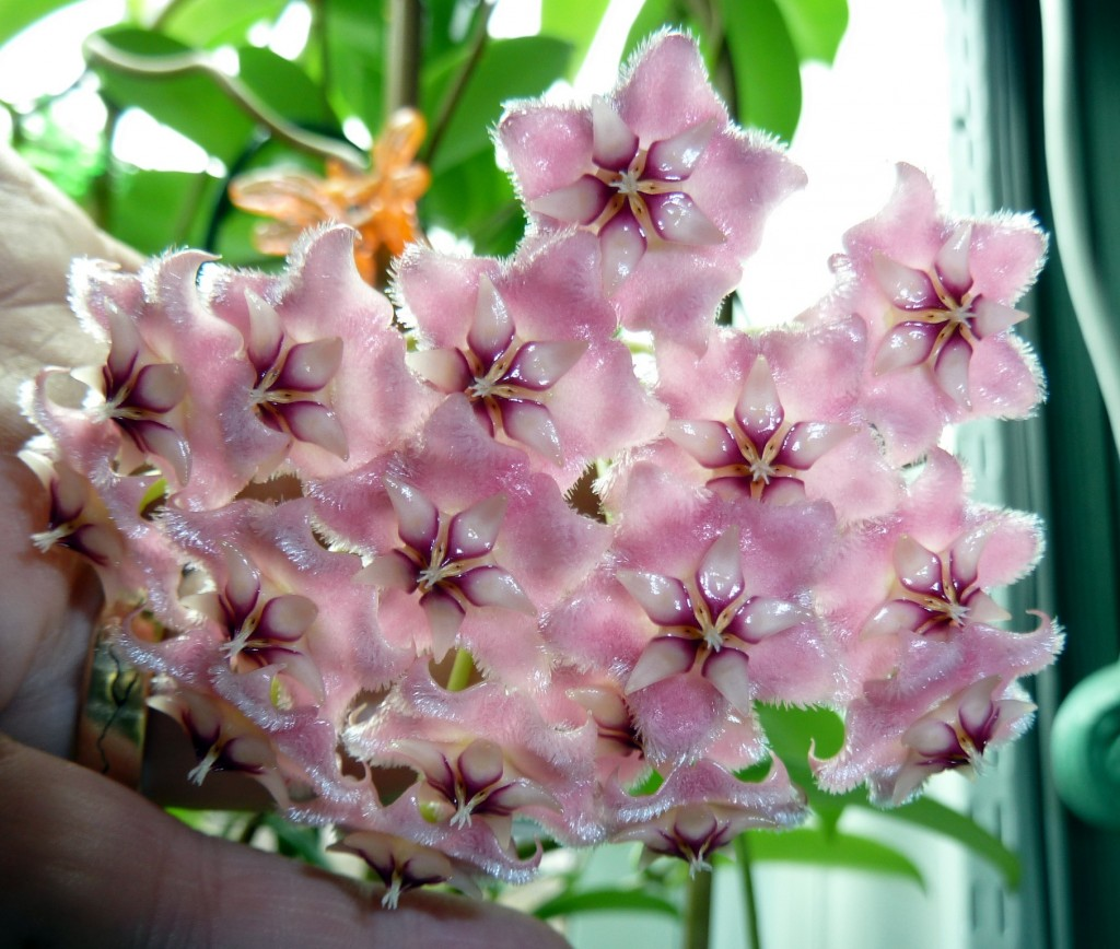 Hoya Pubicalyx Pink Dragon Vermont Hoyas