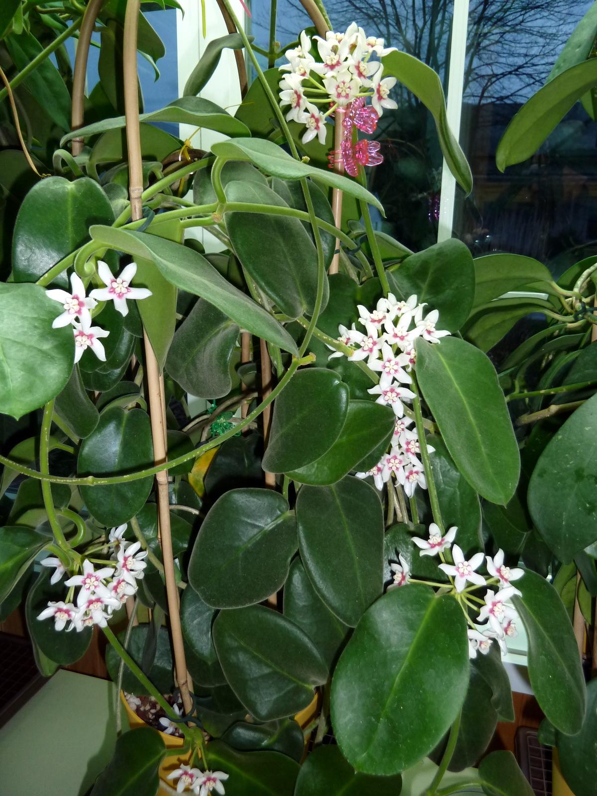 Hoya Calycina Vermont Hoyas