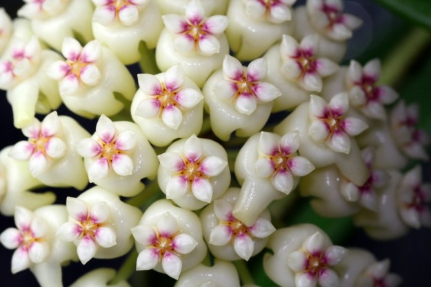 Hoya sp. Bangkok Red