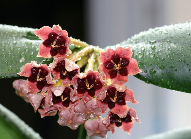Hoya lobbii 'Pink' From December 26, 2012