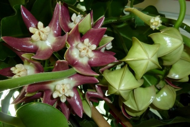 Hoya imperialis showing buds and blooms in December 2012