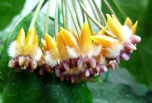 Hoya praetorii Bloom Taken January 4th, 2012